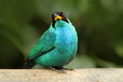Spiza verde de Honeycreeper, de Chlorophanes, formulário verde e azul Costa Rica da malaquite tropica exótica do pássaro Imagem de Stock Royalty Free