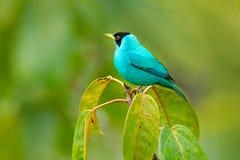 Spiza vert de Honeycreeper, de Chlorophanes, oiseau vert et bleu de malachite tropicale exotique de Costa Rica Tanager des avants image libre de droits