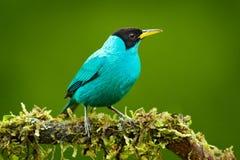 Spiza vert de Honeycreeper, de Chlorophanes, oiseau vert et bleu de malachite tropicale exotique de Costa Rica Tanager des avants photographie stock libre de droits