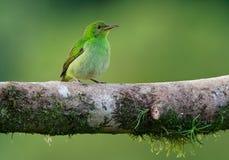 Spiza vert de Honeycreeper - de Chlorophanes, petit oiseau dans la famille de tanager images stock