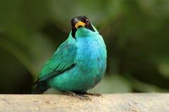 Spiza vert de Honeycreeper, de Chlorophanes, forme verte et bleue Costa Rica de malachite tropicale exotique d'oiseau image libre de droits