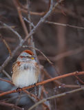Spizella passerina. Chipping sparrow - Spizella passerina in the winter cold royalty free stock image