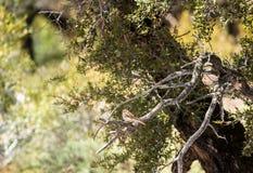 Spizellapasserina f?r g? i flisor sparv i bergmahognybuske arkivbild
