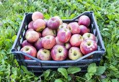 Spjällåda av äpplen över gräs Arkivfoto