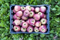 Spjällåda av äpplen över gräs arkivbild