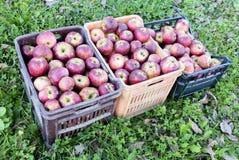 Spjällådor av äpplen över gräs arkivbilder