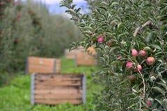 Spjällådor för Apple fruktträdgård Arkivbild