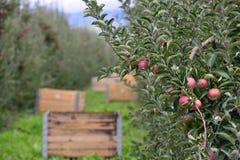 Spjällådor för Apple fruktträdgård Arkivbilder
