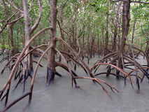 Spöklika mangrovar, östlig punktreserv, Darwin, Australien Royaltyfri Fotografi