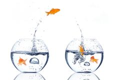 Splash!!!. Goldfishes jumping from one bowl to the other on white background stock photography