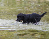 Splash. Dog fetching a stick in the water Royalty Free Stock Photo
