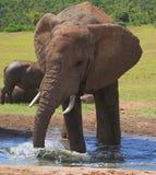 Splash. African Elephant bull splashing around in the water Stock Photography