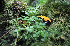 Splash-back poison frog Stock Photos