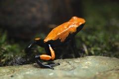 Splash-backed poison frog (Adelphobates galactonotus). royalty free stock photo