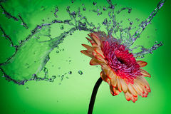 Splash on a Daisy. Liquid splashing on a single Daisy flower Royalty Free Stock Images