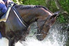 Splash fun horse. Racehorse splashing in a river after exercise head and shoulder closeup Stock Photos