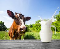 A splash in a jug of milk on the background of a brown cow. A jug of milk stands on a wooden table against the background of a brown cow in a pasture royalty free stock images