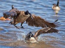 A Splash Landing--Canadian Goose on Northern Virginia Lake Stock Photography