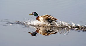 Splash Landing Stock Photos