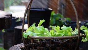 Splash lettuce on a basket. Organic vegetable stock footage