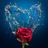 Splash and rose Royalty Free Stock Photos