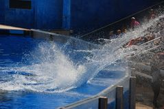 Splash in the Sea World. Killer whale Shamu splashes the water to the audience in Sea World Orlando Florida. This is an interactive and fun performance Royalty Free Stock Photography