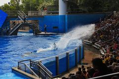 Splash in the Sea World. Killer whale Shamu splashes the water to the audience in Sea World Orlando Florida. This is an interactive and fun performance Royalty Free Stock Photo