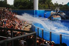 Splash in the Sea World. Killer whale Shamu splashes the water to the audience in Sea World Orlando Florida. This is an interactive and fun performance Stock Image