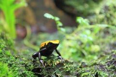Splashback poison frog royalty free stock image