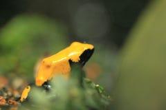 Splashback poison frog stock image