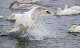 Splashdown - Trumpet Swan Lands on River Stock Photos