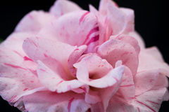 Splashed with Pink. Entered in competition, this camellia flower's splashes of color are the result of a virus Stock Photography