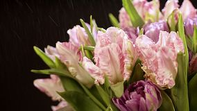 Splashes of water fly on light on a beautiful bouquet of tulips. A beautiful bouquet from curly pink tulips on a black. Black background. light pink tulip flower stock video footage