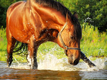 Splashing  bay horse Stock Photography