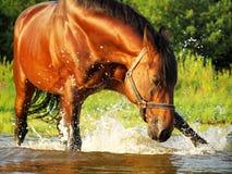 Splashing Bay Horse Stock Photography