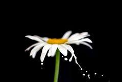 Splashing chamomile Stock Photography