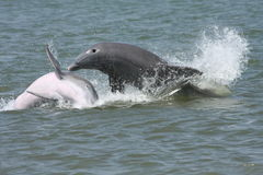 Splashing dolphins. Two dolphins splashing and playing Royalty Free Stock Images