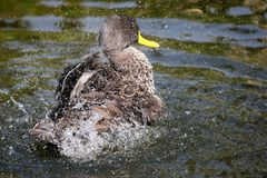 Splashing  Duck. Duck with yellow beak splashing in water Royalty Free Stock Photography