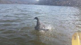 Splashing duck Stock Photography