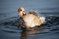Splashing duck at Hyde Park,  London Royalty Free Stock Images