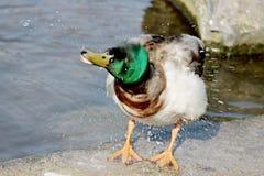 Splashing duck at a pond Stock Photo