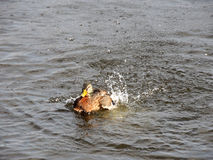 Splashing duck swimming in river. Bird mallard Royalty Free Stock Image