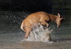 Splashing Elk Calf Royalty Free Stock Photography