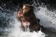 Splashing Hippo Stock Photos