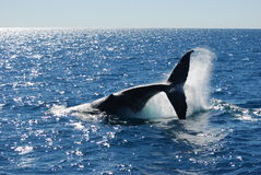 Splashing Humpback Whale royalty free stock images