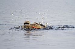 Splashing Mallard. Mallard or Wild duck (Anas platyrhynchos) washing Royalty Free Stock Photos