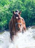 Splashing nice bay mare in river Royalty Free Stock Photo