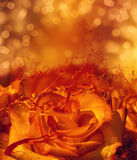 Splashing orange rose card Royalty Free Stock Photography