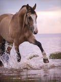 Splashing palomino horse. Outdoor evening Royalty Free Stock Photos