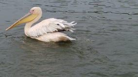 Splashing pelican stock video footage